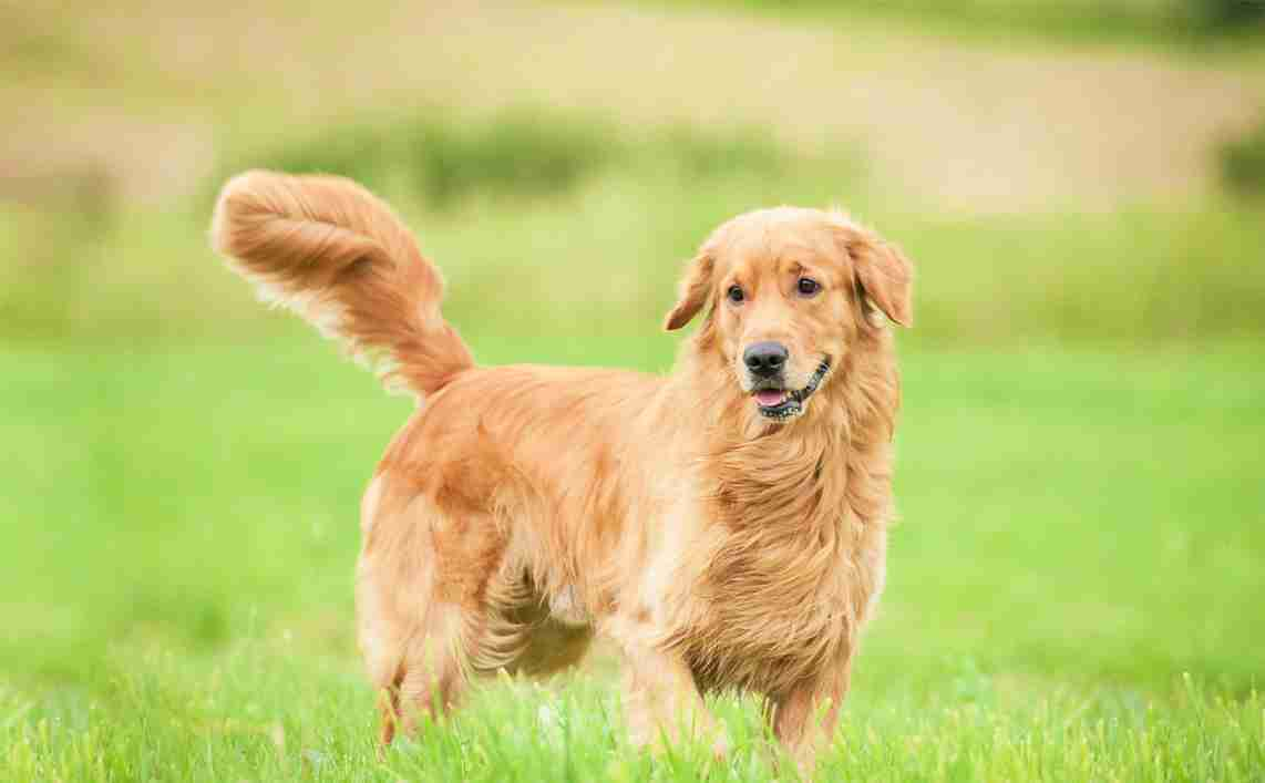 understand a dog's tail movements